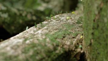 Hormigas cortadoras de hojas en el parque nacional Cahuita 08