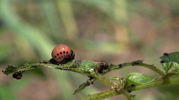 Rociar insecticida sobre larvas de chinches del escarabajo de la patata