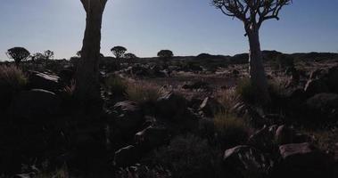 4k Schwenkaufnahme von Köcherbäumen / Kokerboom in der Silhouette gegen die Sonne