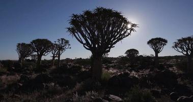 4k beweglicher Schuss von Köcherbäumen / kokerboom in der Silhouette mit Sonne im Hintergrund