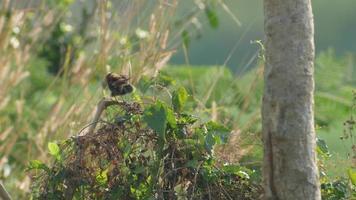 uccello pied bushchat rilassante sul germoglio della pianta
