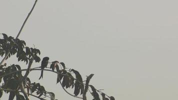 drongo negro relaxando na árvore