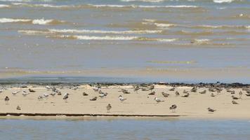 Las aves marinas se relajan en la colina de arena en el mar video