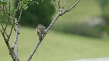 Red-whiskered bulbul ontspannen op plantenschiet na regen video