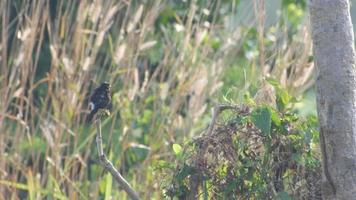 uccello pied bushchat che riposa e si rilassa sul ramo di un albero