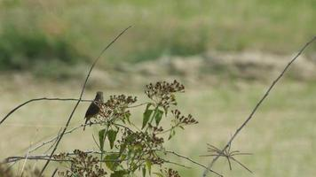 stonechat bird resting behind weed flowers video