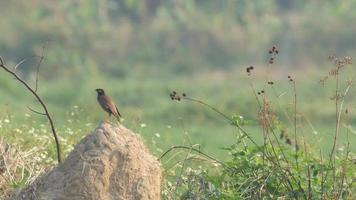 Common myna birds on the soil pile in the field video