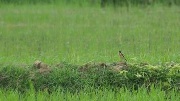 uccello di chiacchierata di pietra che cerca e mangia sul pavimento