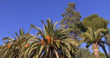 Barcelona sonniger Tag Dattelpalmenansicht 4k Spanien