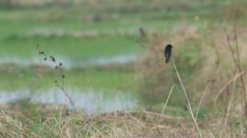 pássaro pied bushchat descansando e voando no arrozal video