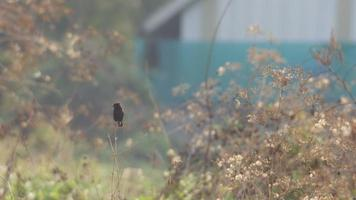 Bonte bushchat-vogel die op de tak rust video
