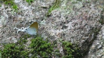 Fluffy Tit butterfly walking on the moss mat