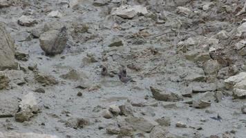 três pássaros munia de peito escamoso bebendo água de um pequeno poço video