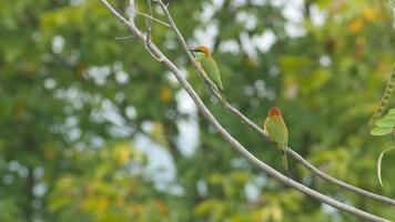 uccello verde gruccione che riposa sul ramo di un albero