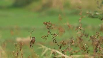 gescheckter Buschchatvogel, der auf dem Zweig ruht