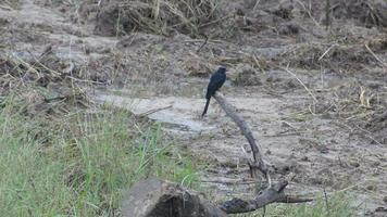 drongo preto descansando na madeira video