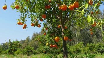 fruit orange à la branche d'arbre, saison de printemps, journée ensoleillée video