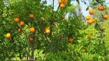 Orangenfrucht am Ast des Baumes, Frühlingssaison, sonniger Tag