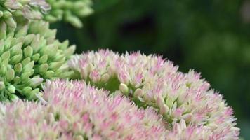 Pequeñas flores rosadas de sedum de cerca, macro shot