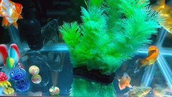 pesci dorati che nuotano nel serbatoio 4K video