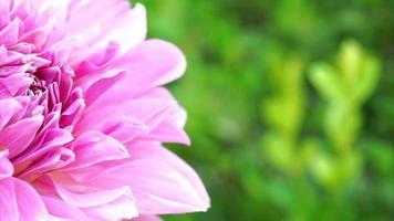 foco de flor de dalia rosa