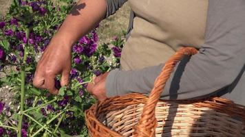colheita manual de flores roxas uma por uma