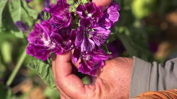 raccolta a mano di fiori viola uno per uno
