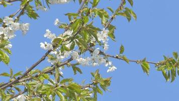 Cherry flowers on clear blue sky video