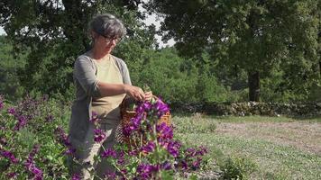 cosecha manual de flores moradas una por una