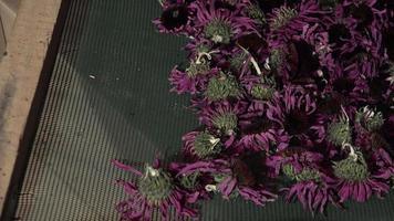 preparazione ed essiccazione di fiori e foglie