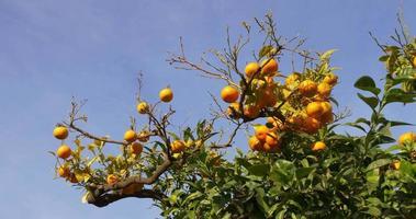 Sonnenlicht Mandarinenbaum oben schließen 4k Spanien