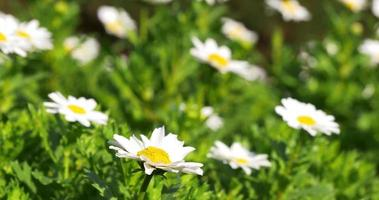 Sonnenlicht Nahaufnahme von Sommerblumen 4k Spanien