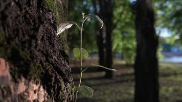rama fresca de un árbol sobre un fondo de una vieja corteza de árbol y árboles en el bosque