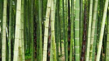 foresta di alberi di bambù video