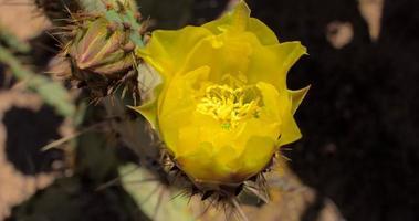 4k time lapse abertura de flor de cacto de pera espinhosa amarela video