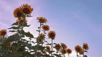 Schwenken von Sonnenblumen, die im Wind tanzen, Retro-Stimmung