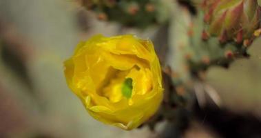 Apertura del fiore di cactus giallo lasso di tempo 4 k