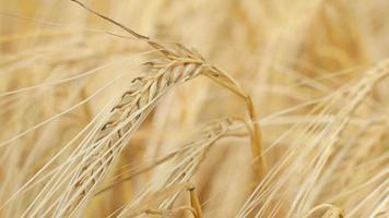 Nahaufnahme eines einzelnen reifen Weizenstrohs video