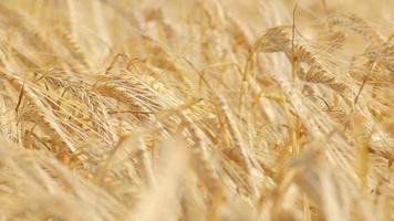 Close-up of a ripe wheat straws video