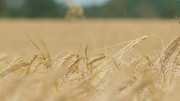 Nahaufnahme eines reifen Weizenstrohhalms video