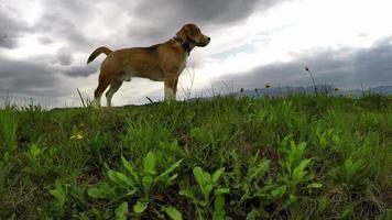 4k filmagens: beagle na caminhada diária em busca de aventuras