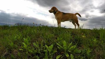 potente beagle durante la camminata con sfondo di montagna