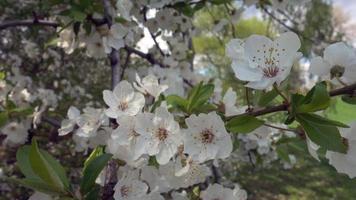 flores de cerejeira brancas flores de sakura em plena floração da natureza video