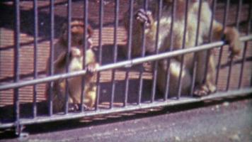 1968: scene di scimmie in gabbia in diverse ambientazioni.