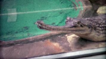 1973: pesce gaviale che mangia coccodrillo alligatore allo zoo.