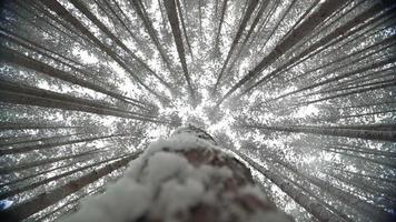 copas de los árboles de los altos pinos meciéndose en el viento mientras cae la nieve vista hacia arriba video