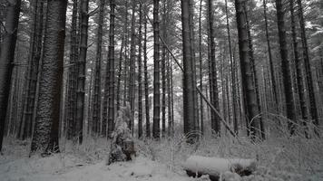 neige fraîche dans la forêt, la caméra se déplace pour révéler un sentier symétrique à travers de grands pins