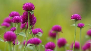 Flores de botão de bachalor tremendo com o vento