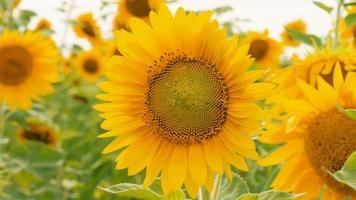 campo de girasoles en un día soleado de verano video