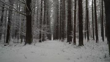 Longue ligne de pins symétriques en hiver alors que la caméra se déplace sur le chemin